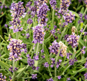 Levandule úzkolistá 'Sentivia Blue' - Lavandula angustifolia 'Sentivia Blue'