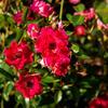 Růže půdopokryvná 'Fairy Queen' - Rosa PK 'Fairy Queen'
