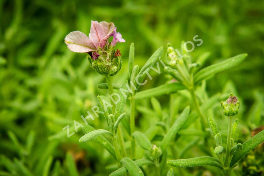 Lavandula stoechas 'Lavita Pink' - Lavandula stoechas 'Lavita Pink'