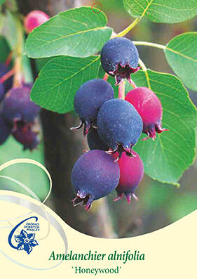 Muchovník olšolistý 'Honeywood' - Amelanchier alnifolia 'Honeywood'