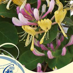 Zimolez kozí list 'Inga' - Lonicera caprifolium 'Inga'