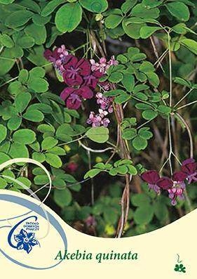 Akébie pětičetná - Akebia quinata