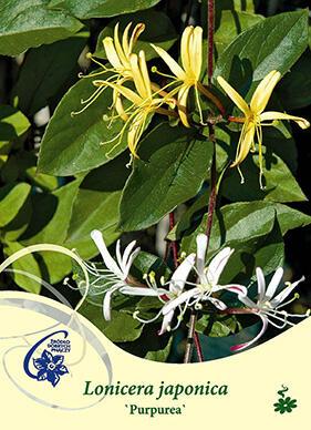 Zimolez japonský 'Purpurea' - Lonicera japonica 'Purpurea'