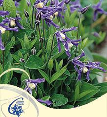 Plamének 'Bluish Violet' - Clematis 'Bluish Violet'