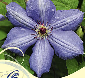Plamének 'Blue Pillar' - Clematis 'Blue Pillar'