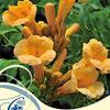 Trubač kořenující 'Flava' - Campsis radicans 'Flava'