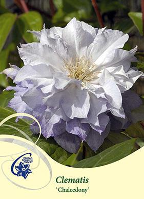 Plamének 'Chalcedony' - Clematis 'Chalcedony'