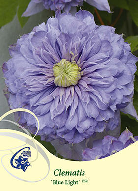 Plamének 'Blue Light' - Clematis 'Blue Light'