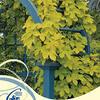 Chmel otáčivý 'Aureus' - Humulus lupulus 'Aureus'