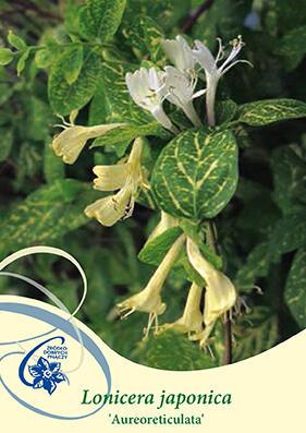 Zimolez japonský 'Aureoreticulata' - Lonicera japonica 'Aureoreticulata'
