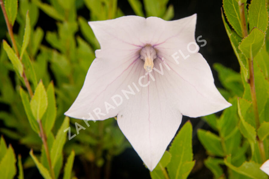 Boubelka 'Fuji Pink' - Platycodon grandiflorus 'Fuji Pink'