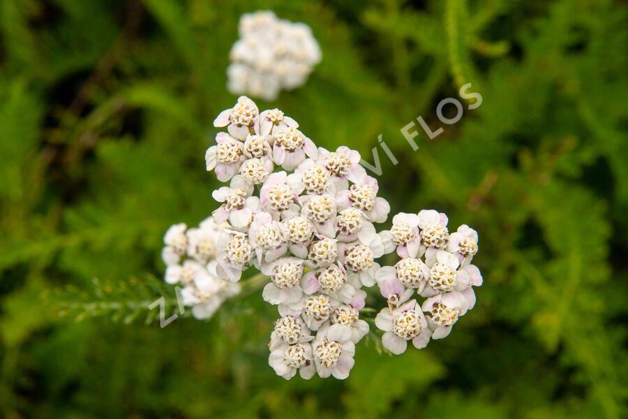 Řebříček obecný 'White Beauty' - Achillea millefolium 'White Beauty'