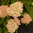 Řebříček obecný 'Compact mix' - Achillea millefolium 'Compact mix'