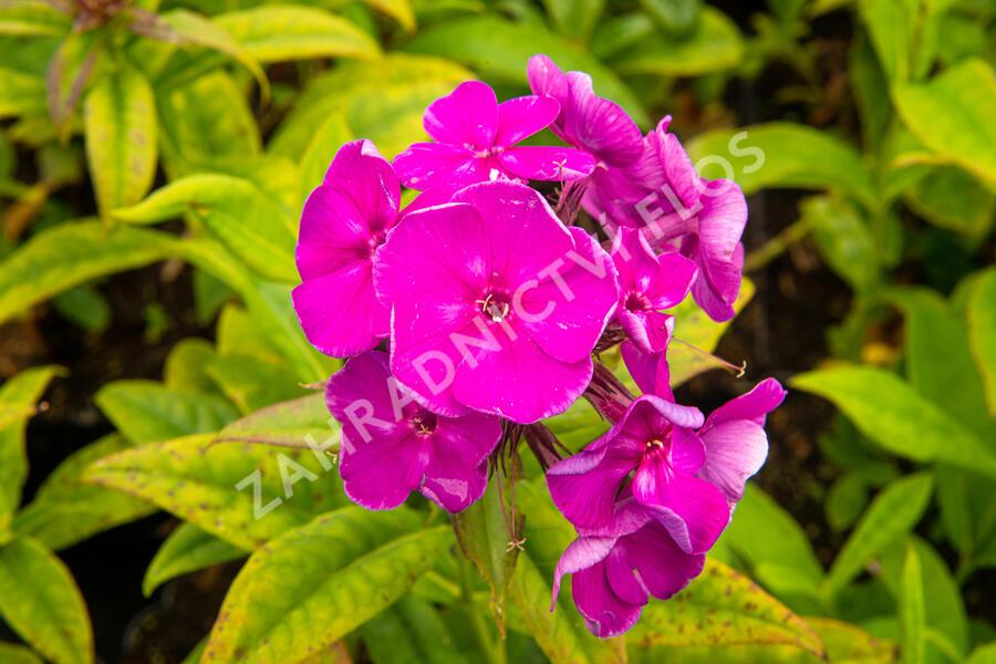 Plamenka latnatá 'Adessa Purple Star' - Phlox paniculata 'Adessa Purple Star'