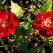 Růže půdopokryvná 'Rote The Fairy' - Rosa PK 'Rote The Fairy'