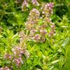 Mateřídouška úzkolistá - Thymus serpyllum