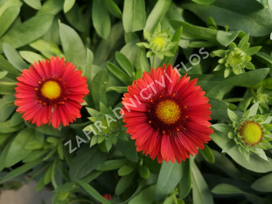 Kokarda osinatá 'Spin Top Red' - Gaillardia aristata 'Spin Top Red'