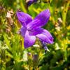 Zvonek dalmatský 'Clockwise Compact Deep Blue' - Campanula portenschlagiana 'Clockwise Compact Deep Blue'