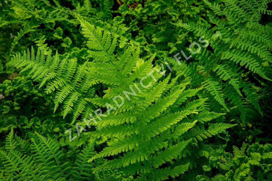 Papratka samičí 'Frizelliae' - Athyrium filix-femina 'Frizelliae'