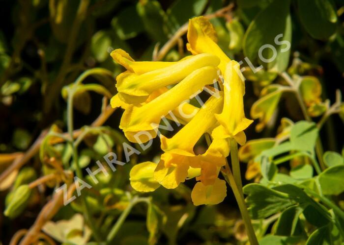 Dymnivka žlutá - Corydalis lutea