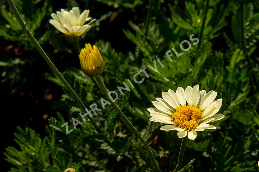 Anthemis tinctoria 'Wargrave' - Anthemis tinctoria 'Wargrave'