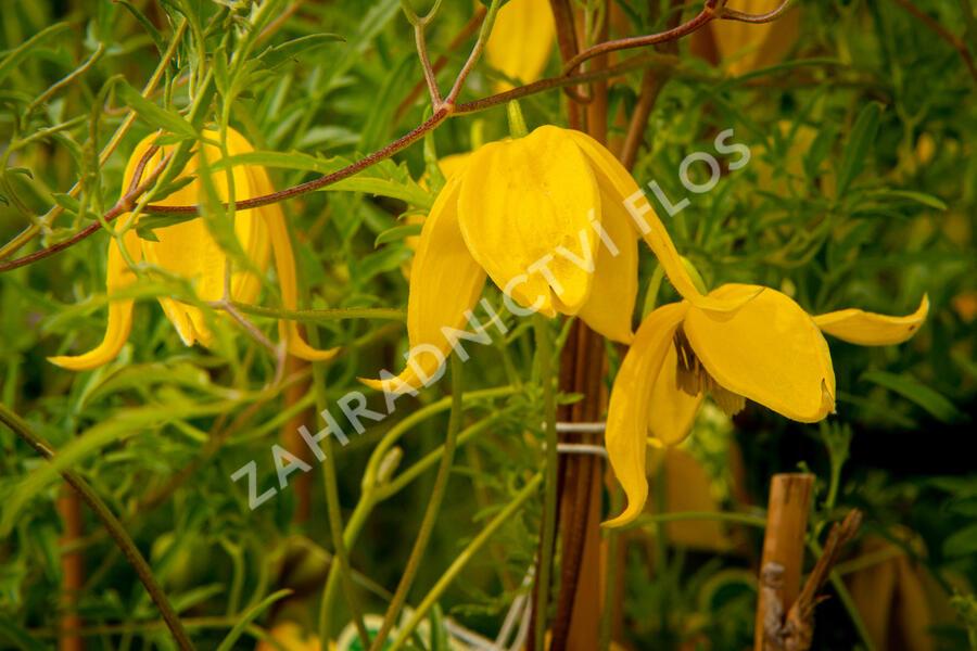 Plamének tangutský 'Aureolin' - Clematis tangutica 'Aureolin'