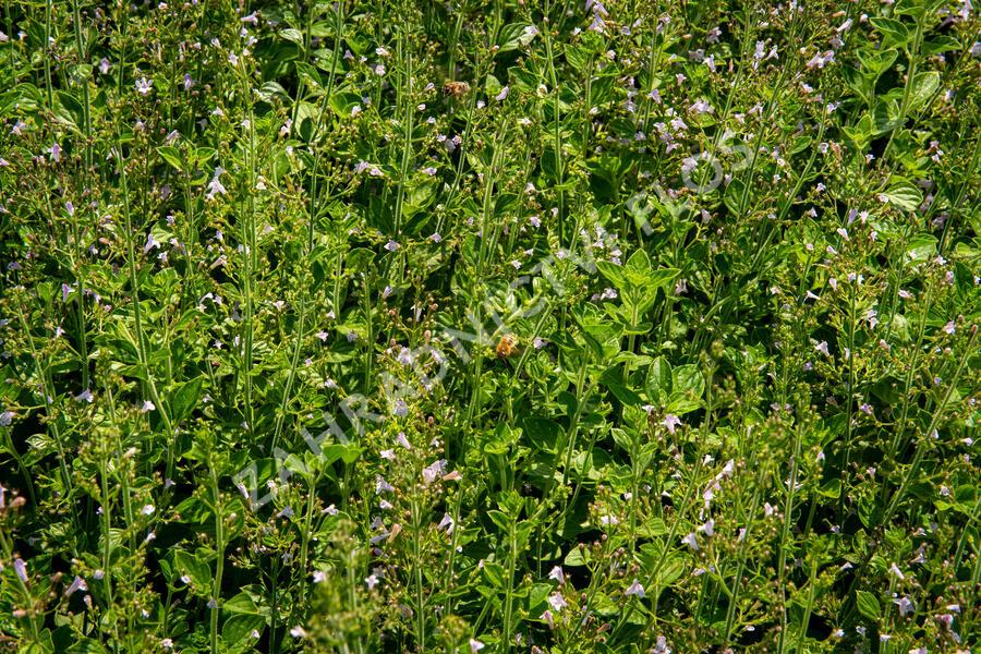 Marulka lékařská - Calamintha nepeta ssp. nepeta