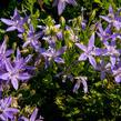 Zvonek garganský 'Filigree Purple' - Campanula garganica 'Filigree Purple'