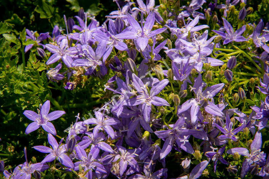 Zvonek garganský 'Filigree Purple' - Campanula garganica 'Filigree Purple'