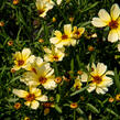 Krásnoočko přeslenité 'Buttermilk' - Coreopsis verticillata 'Buttermilk'