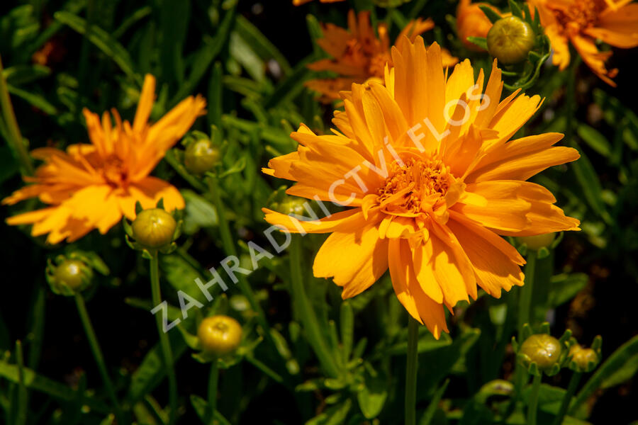 Krásnoočko velkokvěté 'Double the Sun' - Coreopsis grandiflora 'Double the Sun'
