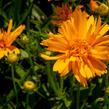 Krásnoočko velkokvěté 'Double the Sun' - Coreopsis grandiflora 'Double the Sun'