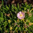 Kosmatec 'Jewel of Desert Rosenquartz' - Delosperma hybrida 'Jewel of Desert Rosenquartz'