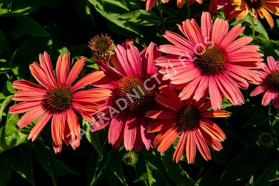 Třapatka nachová 'Papallo Power Coral Orange' - Echinacea purpurea 'Papallo Power Coral Orange'
