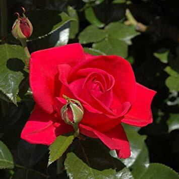 Růže pnoucí 'Climbing Red Flame' - Rosa PN 'Climbing Red Flame'
