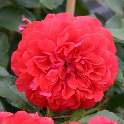 Růže parková Kordes 'Uetersener Rosenkönigin' - Rosa S 'Uetersener Rosenkönigin'