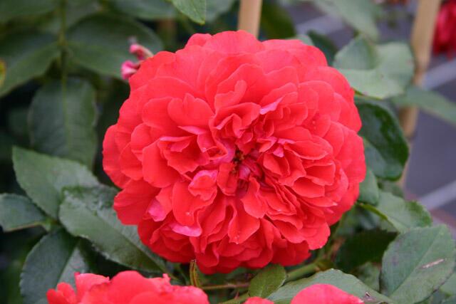 Růže pnoucí Kordes 'Uetersener Rosenkönigin' - Rosa PN 'Uetersener Rosenkönigin'