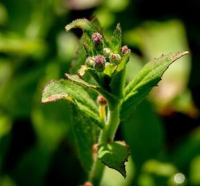 Vrbovka malokvětá - Epilobium parviflorum