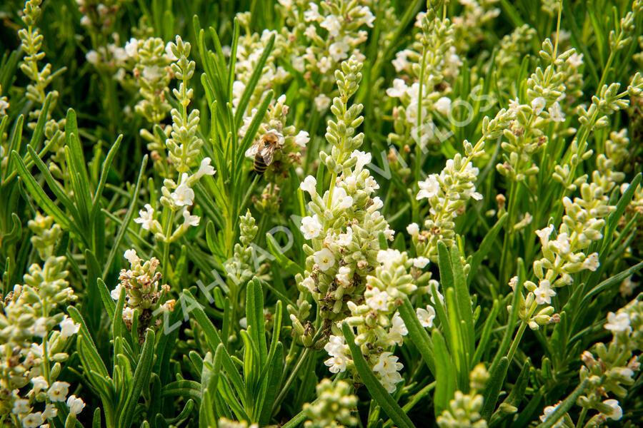 Levandule úzkolistá 'Ellagance Snow' - Lavandula angustifolia 'Ellagance Snow'