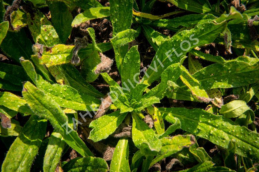 Hadinec obecný - Echium vulgare