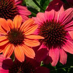 Třapatka nachová 'Papallo Semi Double Pink' - Echinacea purpurea 'Papallo Semi Double Pink'