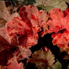 Dlužicha 'Beauty Leaves Ryan' - Heuchera hybrida 'Beauty Leaves Ryan'