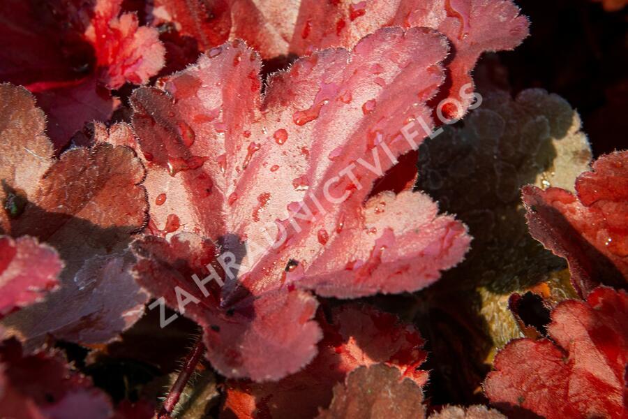 Dlužicha 'Forever Red' - Heuchera hybrida 'Forever Red'