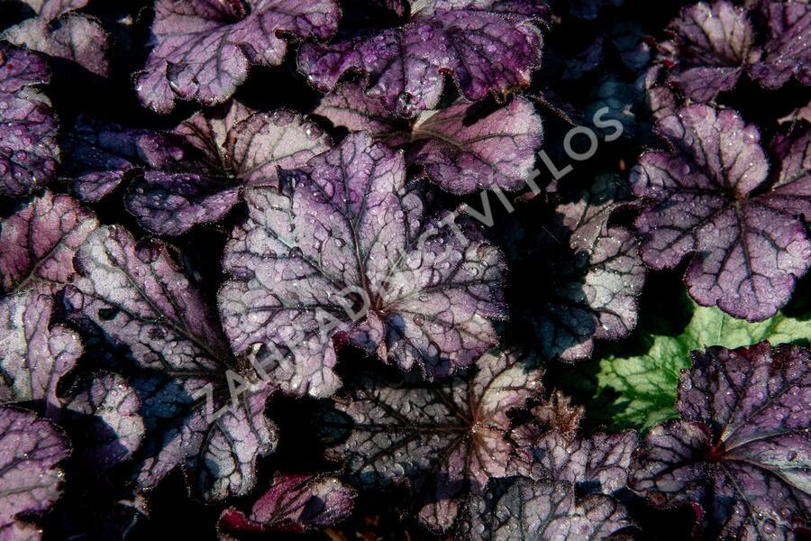 Dlužicha 'Forever Purple' - Heuchera hybrida 'Forever Purple'