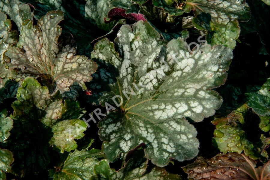 Dlužicha 'Beauty Leaves Liz' - Heuchera hybrida 'Beauty Leaves Liz'