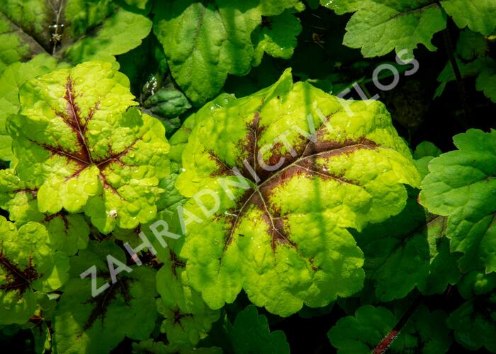 Dlužicha 'Beauty Leaves Eve' - Heuchera hybrida 'Beauty Leaves Eve'