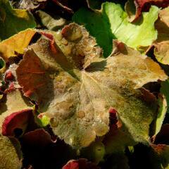 Dlužicha 'Light Brown' - Heuchera hybrida 'Light Brown'