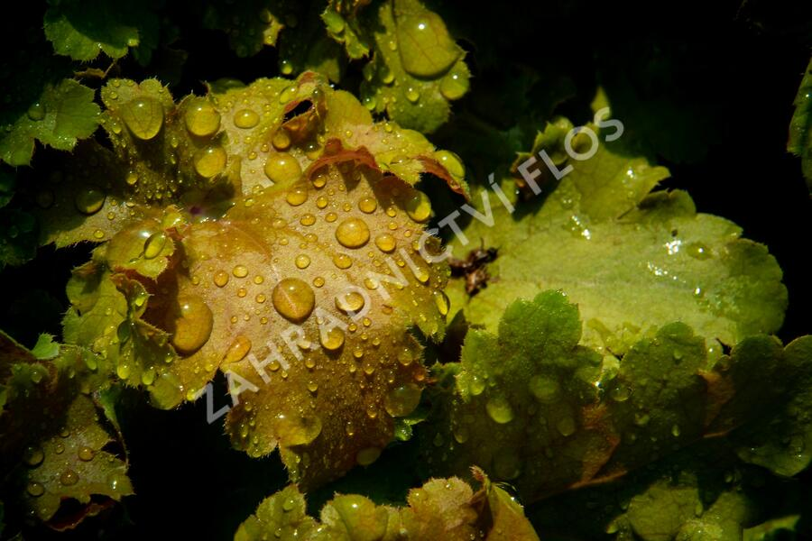 Dlužicha 'Beauty Leaves James' - Heuchera hybrida 'Beauty Leaves James'