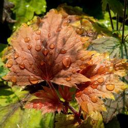 Dlužela 'Copper Orange' - Heucherella hybrida 'Copper Orange'
