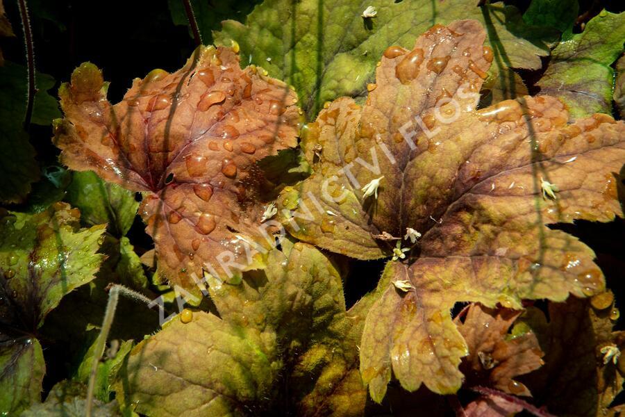 Dlužela 'Beauty Leaves Vince' - Heucherella hybrida 'Beauty Leaves Vince'